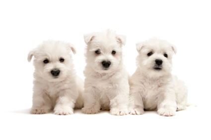 Three west highland white terrier puppies