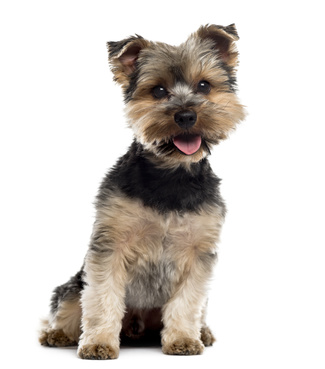 Yorshire Terrier sitting in front of a white background